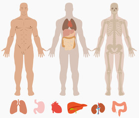 Human anatomy of man background