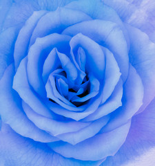Close-up detail of a blue rose flower