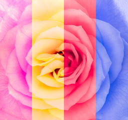 Close-up detail of rose flower in multicolor