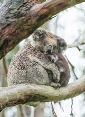 Canvas Prints Koalas