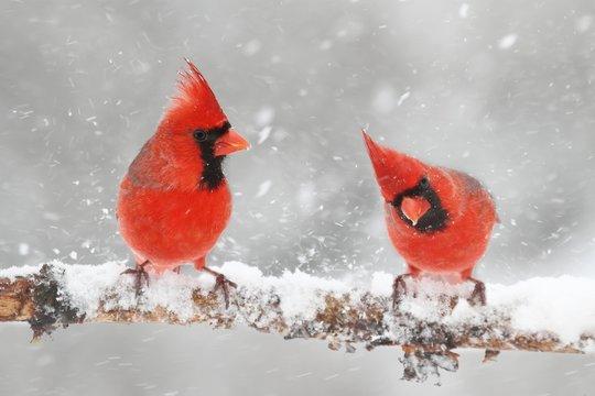 Cardinals In Snow