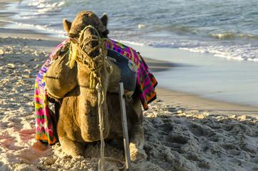 Kamel am Strand von Sousse, Tunesien