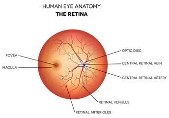 Human eye anatomy, retina