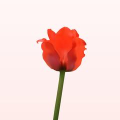 Nice red spring tulip