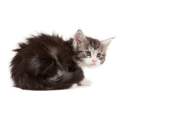 Cute Maine Coon kitten looking up