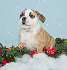 Silly Christmas Bulldog