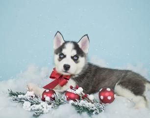 Fototapete - Beautiful Christmas Husky