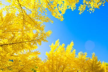 秋のイチョウと青空
