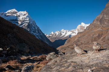 Tibetan snowcock in Himalayas of Nepal