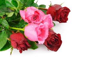 red and pink rose flower isolated on white background