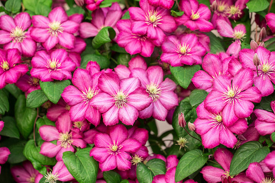 Pink clematis flowers.