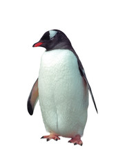 Isolated gentoo penguin