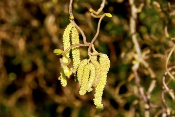 Catkins on the hazel tree in spring