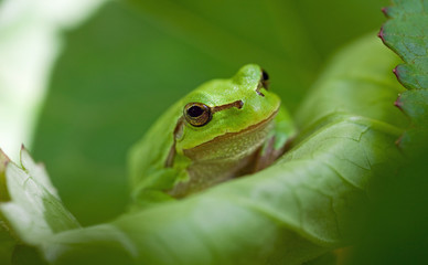 European tree frog (Hyla arborea)