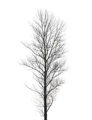Tall poplar tree without leaves in winter isolated on white