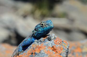 Close-up of a Blue Head Agama lizard