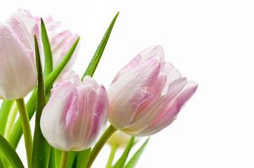 Obraz Mokre tulipany na białym tle - fototapety do salonu