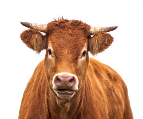Funny Portrait of a Cow