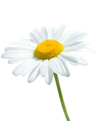 Poster Madeliefjes Beautiful daisy isolated on white background
