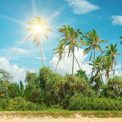 Coconut palms lit bright sun