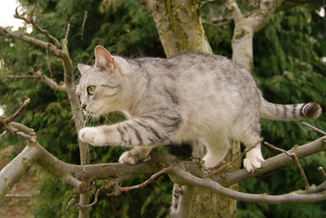 Gray cat climbs the tree branches