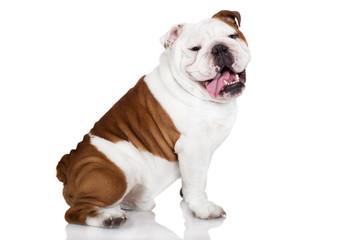 cheerful english bulldog