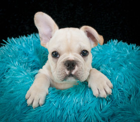 Wall Mural - A sweet Frenchy Puppy