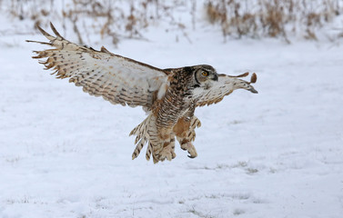 Fotoväggar - Great Horned Owl with Wings Spread