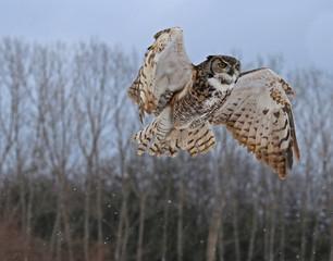 Wall Mural - Great Horned Owl Rising