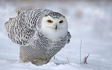 Wall Mural - Leaning Snowy Owl