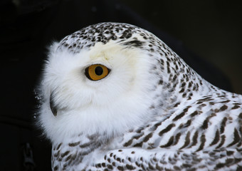 Fotomurales - Snowy Owl Close-up