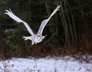 Wall Mural - Snowy Owl (Bubo scandiacus)