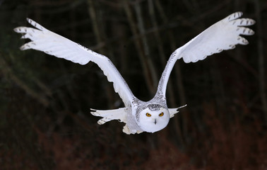 Fotomurales - Snowy Owl Flying Right At You