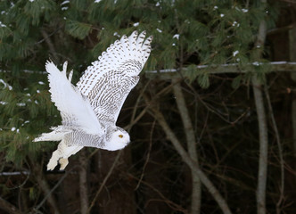 Fotomurales - A Snowy Owl (Bubo scandiacus) in flight