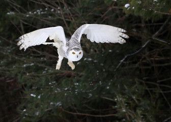 Fotoväggar - Snowy Owl Taking Flight