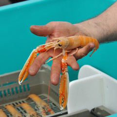 A hand shows a Norway lobster