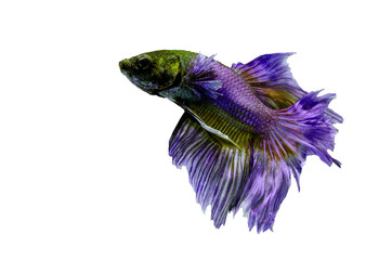 fighting fish, betta on white background : Isolated