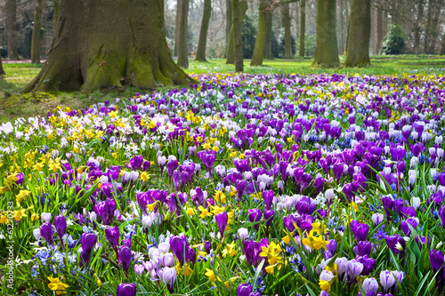 Fototapete Crocuses and narcissus in the park.