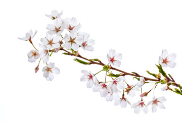 Wall Mural - A branch of a cherry on a white background.