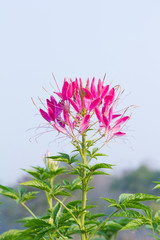 Pink Flowers With Whiskers