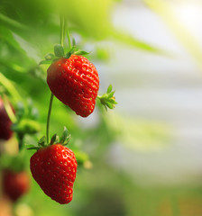 Strawberry fruits on the branch at the morning light