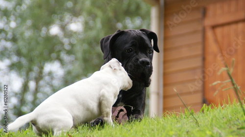 Cane Corso Et Jack Russell Terrier