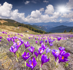 Wall Mural - Blossom of crocuses at spring in the mountains