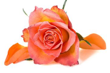 Geeiste Rose