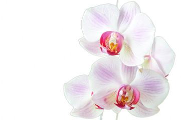 Closeup of a Phalaenopsis blossom