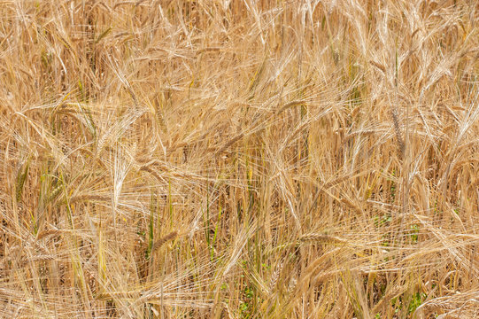 Golden wheat field closeup for the background image.