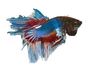 Siamese Fighting Fish .Clipping path included.