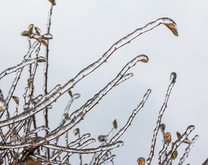 Group of twigs with leaves  engulfed with deep layer of ice