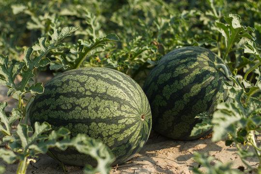 fresh watermelon in the farm