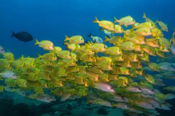 Panamic porkfish